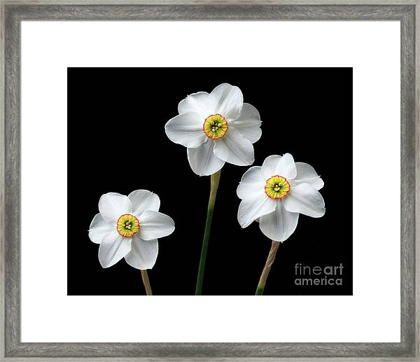 Narcissus 'poeticus' Framed Print