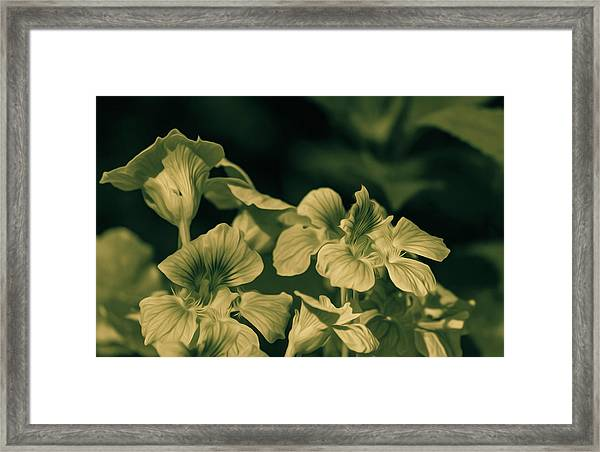 Nasturtium Black And White Framed Print