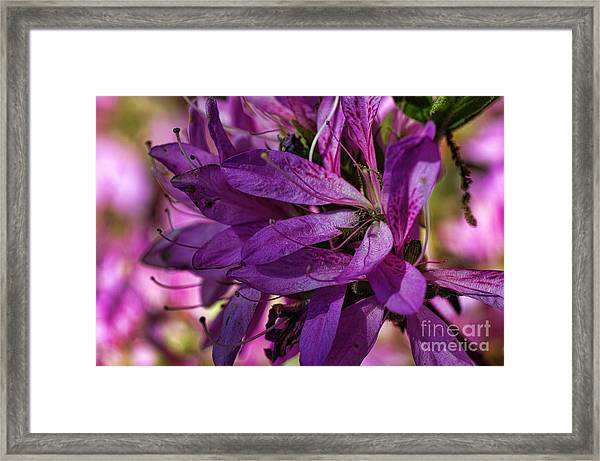 Native Long Petals Framed Print