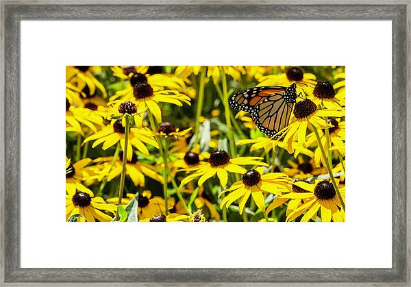 Monarch Butterfly On Yellow Flowers Framed Print