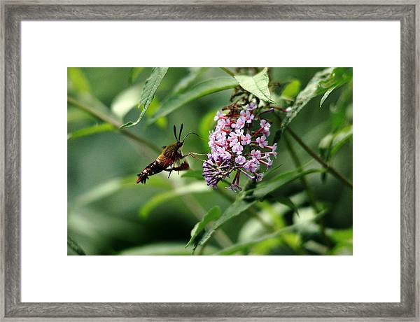 Nectaring Clearwing Hummingbird Moth Framed Print