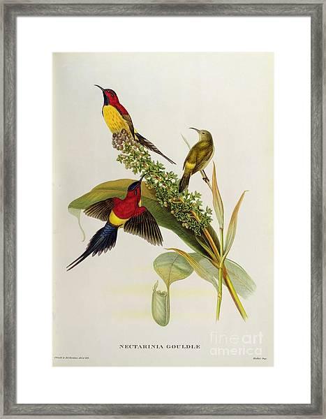 Nectarinia Gouldae Framed Print