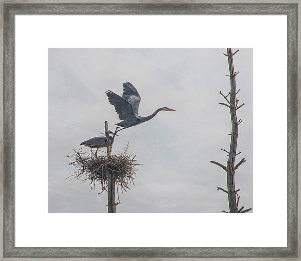 Nesting Great Blue Heron Framed Print