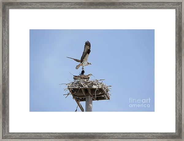 Nesting Osprey In New England Framed Print