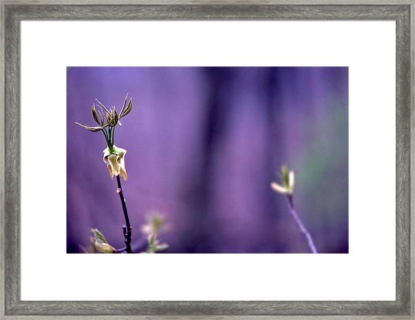 New Buds In Spring Framed Print by Randy Muir