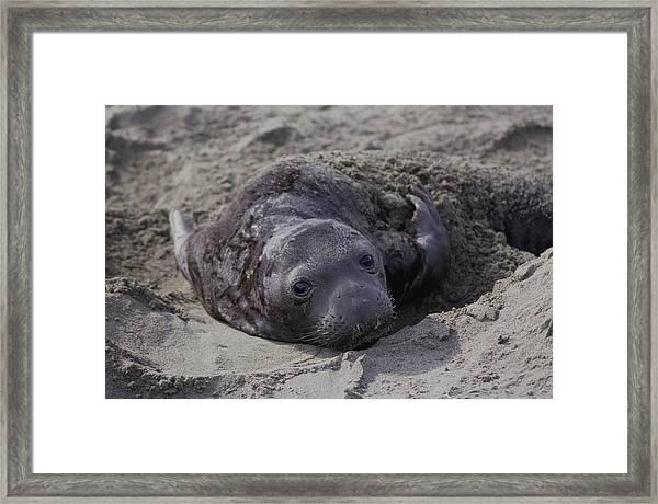 Newborn Northern Elephant Seal Pup Framed Print