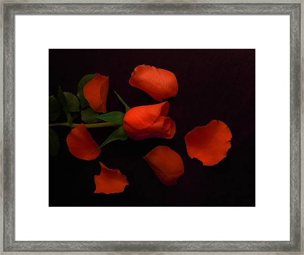 Night Rose 2 Framed Print