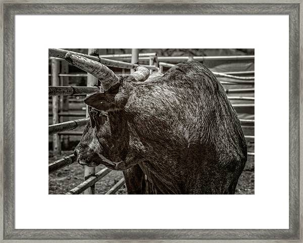 No Bull Framed Print