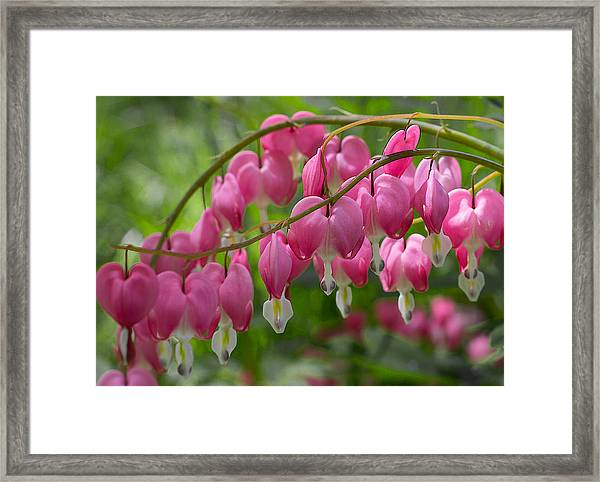 Framed Print featuring the photograph Bleeding Heart by Patti Deters