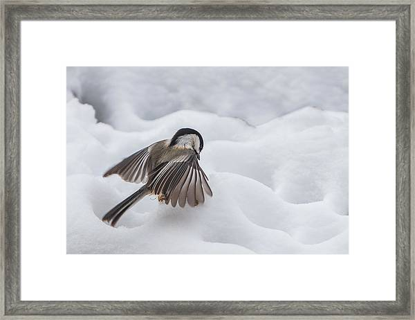 Framed Print featuring the photograph Chickadee - Wings At Work by Patti Deters