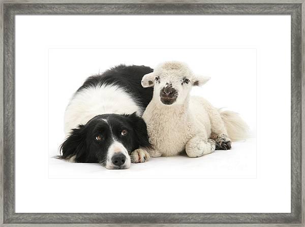 No Sheep Jokes, Please Framed Print