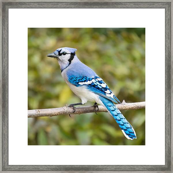 North American Blue Jay Framed Print