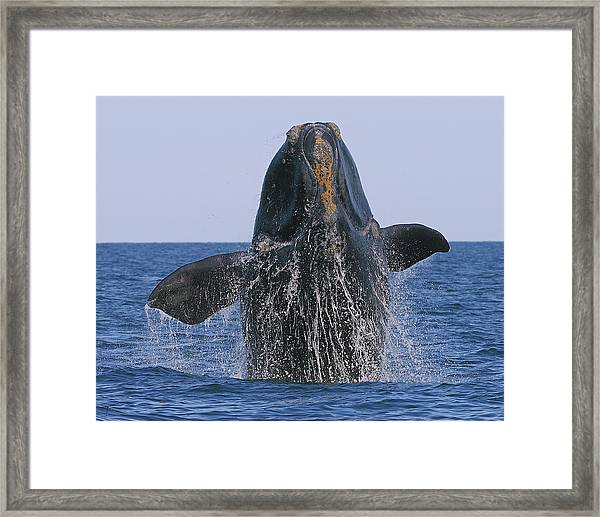 North Atlantic Right Whale Breaching Framed Print