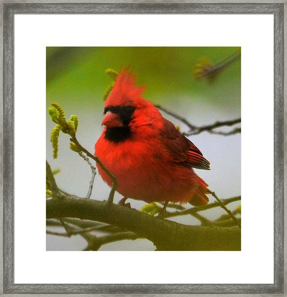 North Carolina Cardinal Framed Print