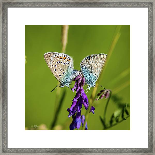Northern Blue's Mating Framed Print