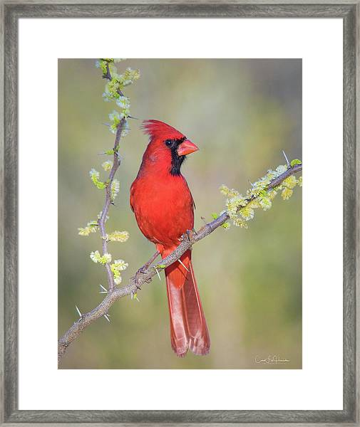 Northern Cardinal Cfh175894 Framed Print