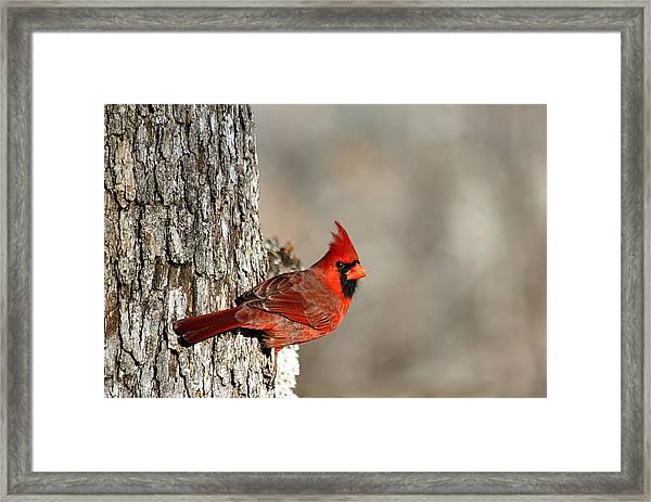 Northern Cardinal On Tree Framed Print