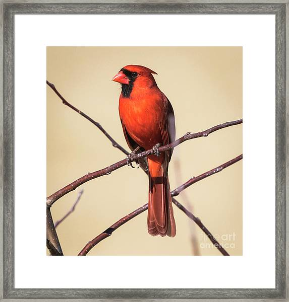 Northern Cardinal Profile Framed Print