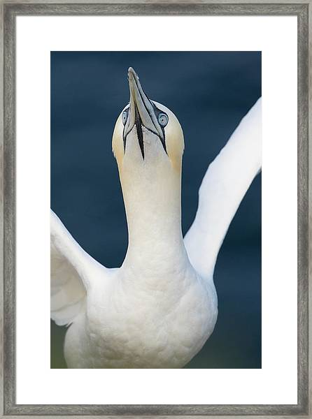 Northern Gannet Stretching Its Wings Framed Print