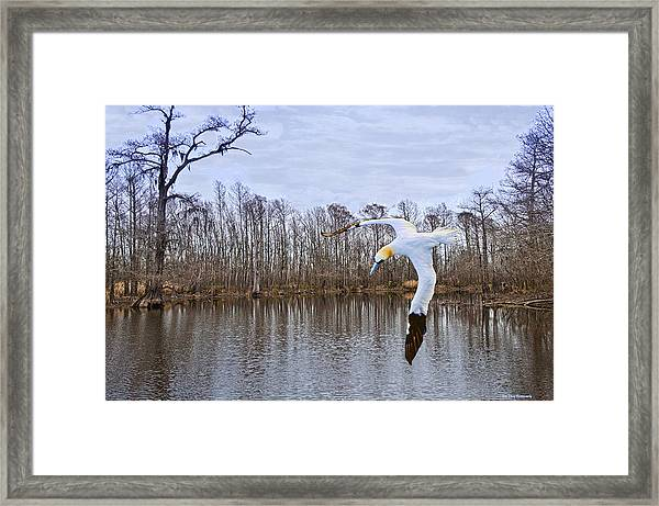 Northern Gannett In The Marsh  Framed Print by Bill Perry