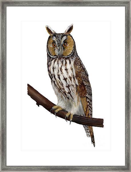Northern Long-eared Owl Asio Otus - Hibou Moyen-duc - Buho Chico - Hornuggla - Nationalpark Eifel Framed Print
