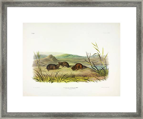 Northern Meadow-mouse Framed Print