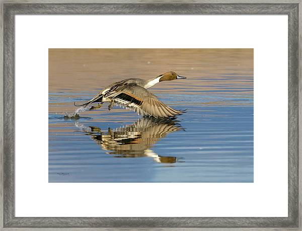 Northern Pintail With Reflection Framed Print