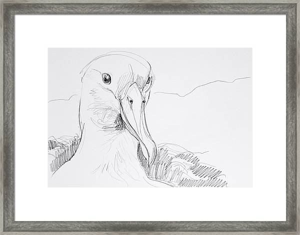 Northern Royal Albatross Framed Print