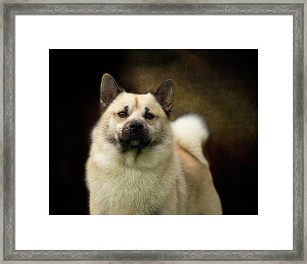 Norwegian Buhund Framed Print