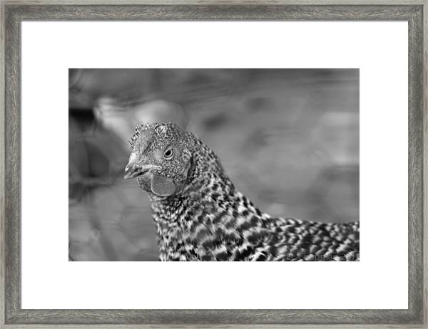 Not Your Chicken Dinner Framed Print