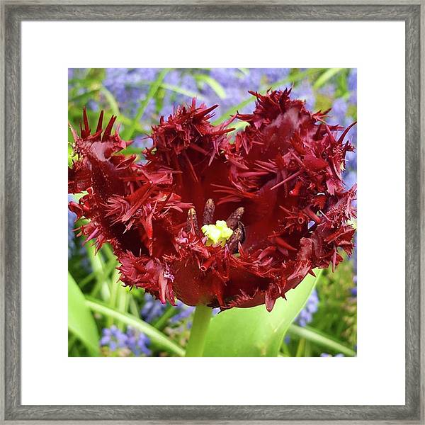 Not Your Traditional Tulip Here, But Framed Print by Dante Harker