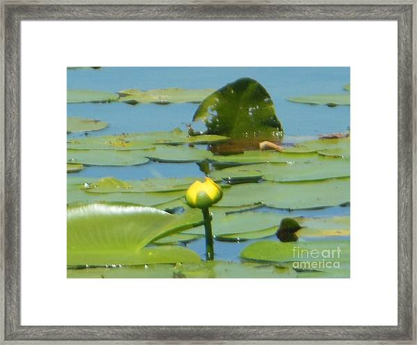 Nuphar Lutea Yellow Pond Framed Print