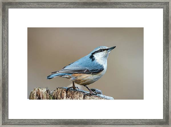 Nuthatch's Pose Framed Print