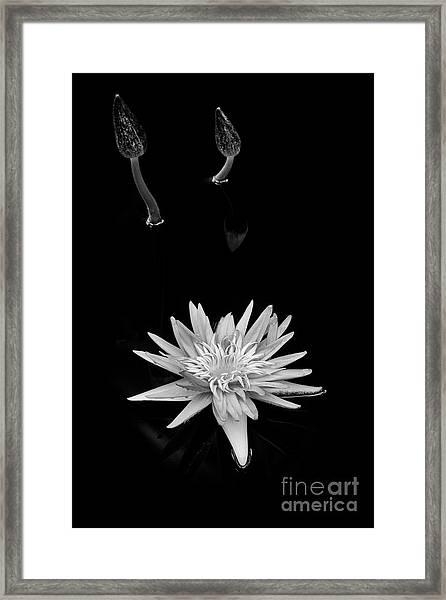 Nymphaea Foxfire Framed Print by Tim Gainey