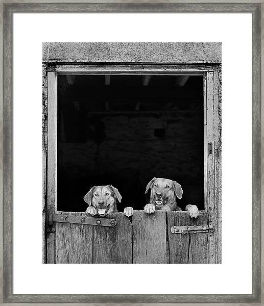 Nz Huntaways, Forever Happy And Nosey. Working Sheep Dogs Framed Print