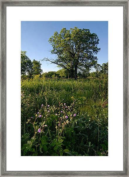 Oak Savanah Framed Print