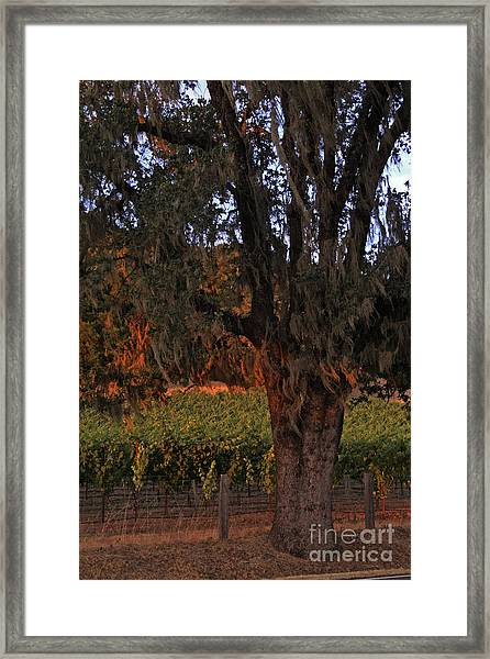 Oak Tree And Vineyards In Knight's Valley Framed Print