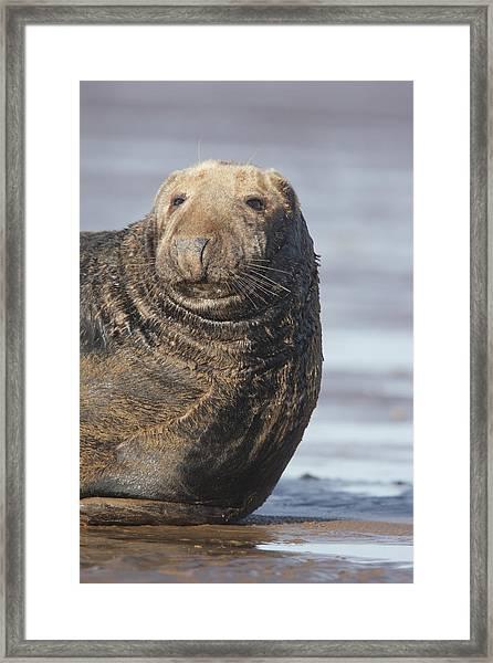 Old Atlantic Grey Seal On The Beach Framed Print