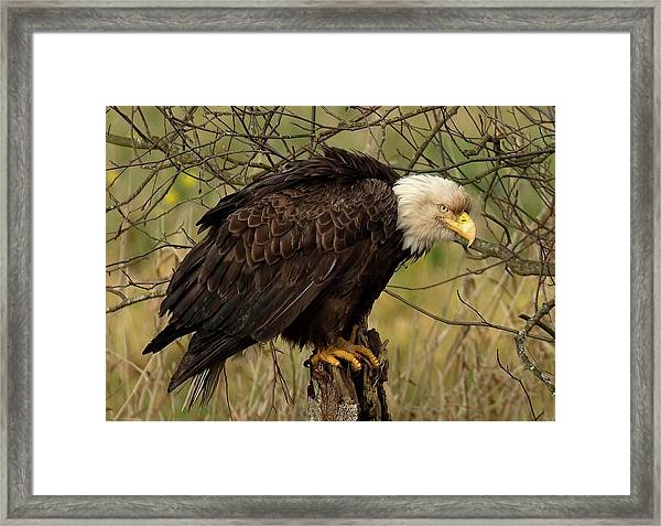 Old Eagle Framed Print