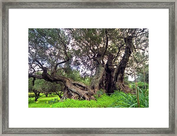 Old Olive Trees Framed Print