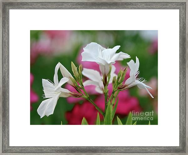 Oleander Casablanca 1 Framed Print