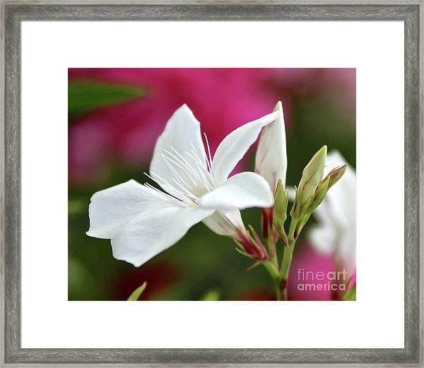 Oleander Casablanca 2 Framed Print