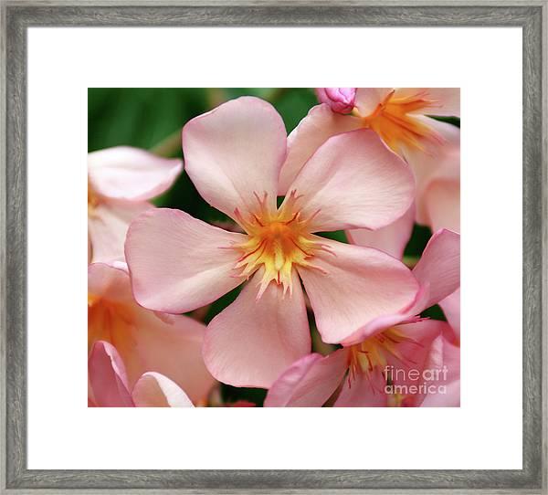 Oleander Dr. Ragioneri 1 Framed Print