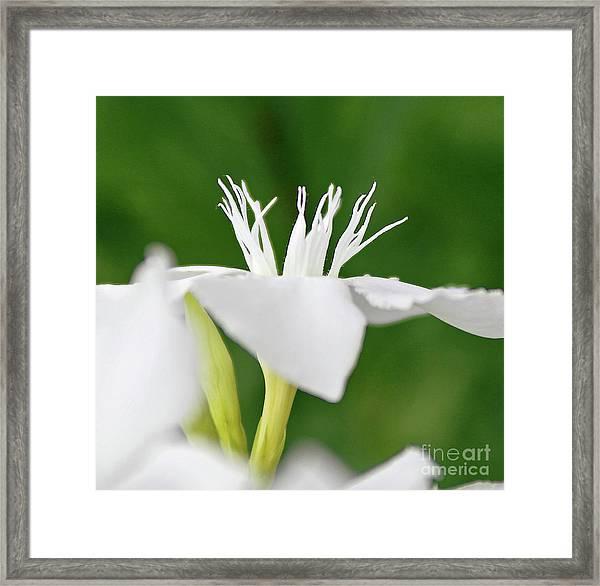 Oleander Ed Barr 2 Framed Print