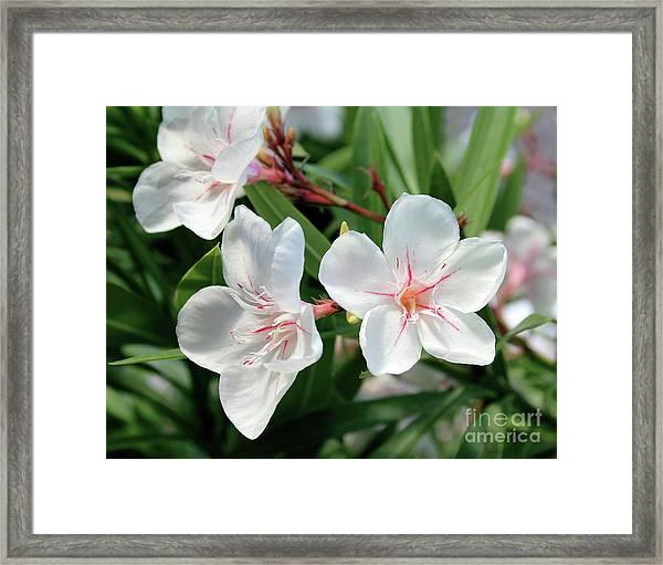 Oleander Harriet Newding 3 Framed Print