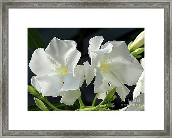Oleander Mont Blanc 1 Framed Print