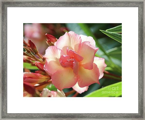 Oleander Mrs. Roeding 1 Framed Print