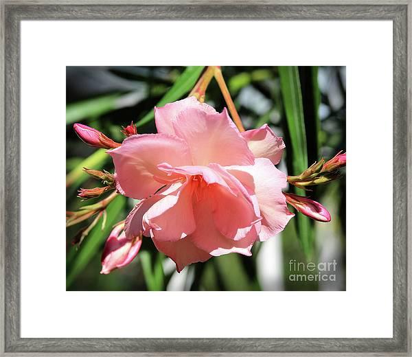 Oleander Mrs. Roeding 3 Framed Print