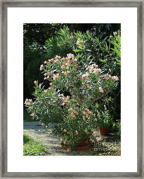 Oleander Petite Salmon 4 Framed Print