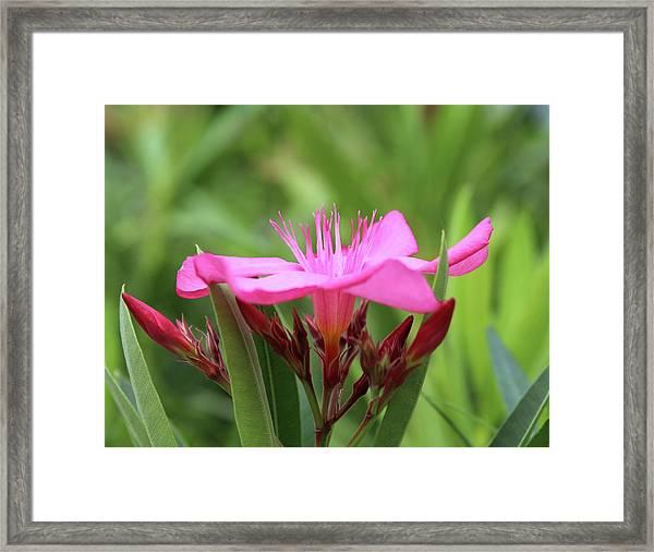 Oleander Professor Parlatore 1 Framed Print
